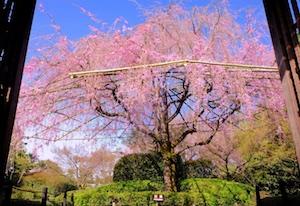 平安神宮の孫桜